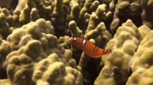 Juv Yellowtail Wrasse Flits Around Near Coral