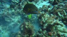 Yellowtail Wrasse Feeds In Coral Rubble