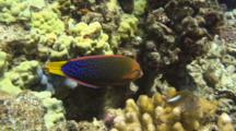Yellowtail Wrasse Feeds In Coral