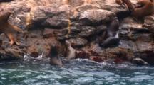 S. American Sea Lion Colony React To Boat Nearby-Isla Choros