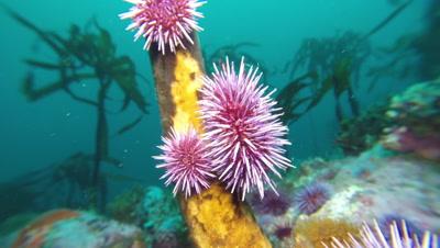 Purple sea urchins eating kelp close up