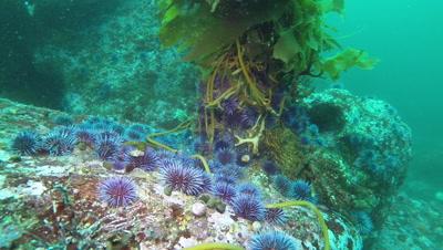 Purple sea urchins swarming and eating giant kelp