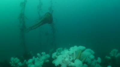 Brown sea nettle (Chrysaora fuscescens) jellyfish swimming over a field of Metridium farcimen anemones