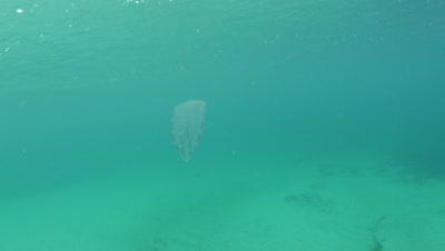 Beroe forskalii comb jelly swimming in Monterey Bay