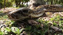 Burmese Python  On Ground