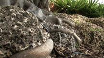 Burmese Python Hunting, Tail Disappearing Between Rocks
