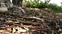 Burmese Python Crawls Past Camera On Ground
