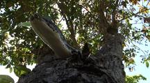 Burmese Python, Hunting, In Tree, Tongue