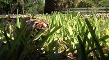 Burmese Python, Hiding In Grass