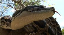 Burmese Python, In Tree, Hunting