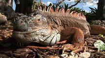 Green Iguana, Large Male On Ground