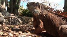 Green Iguana Turns Look At Camera