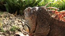 Green Iguana Head Close Up Camera Dolly Over Head