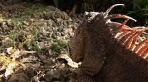 Green Iguana Head And Face Close Up Camera Dolly Over Head