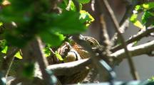 Green Iguana Headshot Through Bush