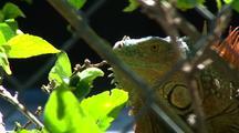 Green Iguana Eats Flower