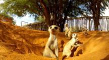 Family Of Meerkats Emerge From Den Near Fence, Curious And Cautious