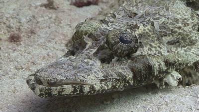 Close Up Crocodilefish Resting On Sand