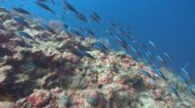 School Of Bright Blue Tropical Fish Race Over Pristine Coral Reef
