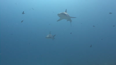 Two Gray Reef Sharks Swim Towards And Past Camera One After The Other