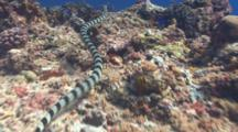 Banded Sea Snake Swimming Over Reef