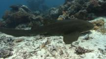 Camera Follows Swimming Zebra Shark As It Comes To A Rest On The Sea Bed