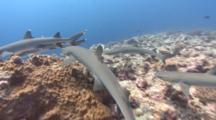 Following A Large Group Of Sharks As They Hunt Over A Coral Reef