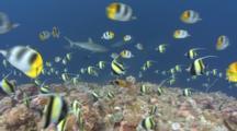 Sharks Swim Amongst Spawning Aggregation Of Moorish Idols And Butterflyfish