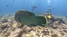 Swimming Napoleon Wrasse Reveals Female Scuba Diver Taking Photo