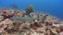 Bumphead Wrasse Competes With White Tip Reef Shark For Prey