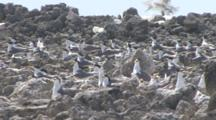 Terns Nesting On Remote Tropical Island With Heat Haze