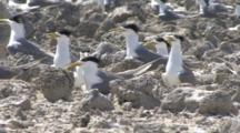 Terns Nesting On Remote Tropical Island