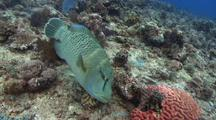 Sweeping Shot Of Hunting Napolean Wrasse