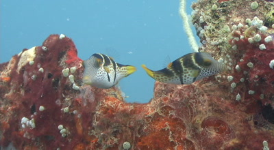 Pair Of Small Crown Tobies On Coral And Sponges