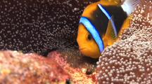 Parent Anemone Fish Tends To Clutch Of Eggs By Anemone