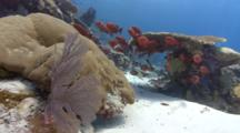 Wide Shot Of Red Tropical Fish And Corals In Current (Part Of Sequence)