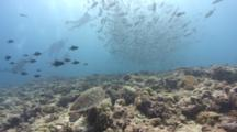 Travelling Shot Towards Turtle Reveals Huge School Of Silver Jacks And Scuba Divers