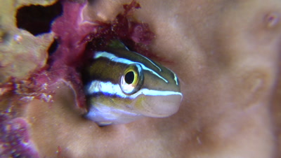 Blue Stripe Fangblenny Extends Out Of Hole Before Retreating Back In