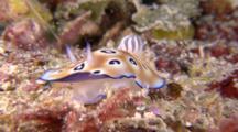 Colorful Nudibranch Crawls Towards Camera