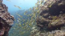 Pov Shot Through Cut In Reef Through Which Are Swimming Huge Numbers Of Snappers And Yellow Fish