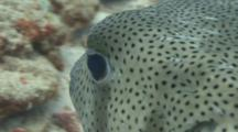 Close Up Following Porcupinefish Showing Spines, Then Fins, Then Eye.