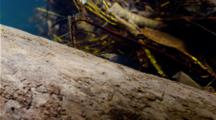 Small Freshwater Shrimp Sits On Log In Fast Flowing River