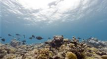 Camera Tilts Up From Coral Reef And Fish To Spearfisherman Swimming On The Water's Surface