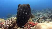 Single Male Broadclub Cuttlefish Hovers Above A Reef
