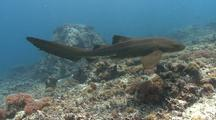 Zebra Shark Enters 1/4 Left Over Bright Corals To Tracking Parallel Swims Past Camera Exit Right.
