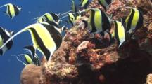 Spawning Aggregation Of Moorish Idols