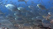 Silver Fish Being Hunted By Larger Silver Fish