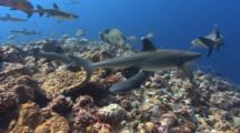 Sharks And Other Predator Fish In A Feeding Frenzy
