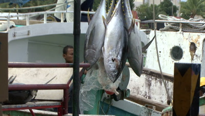 Fisherman Unload Yellowfin Tuna From Long Line Fishing Boat In A Shark Sanctuary