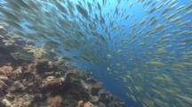 Huge School Of Big-Eye Scad Being Hunted By Predators